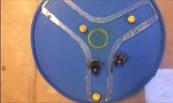 محققین دانشگاه کویین مری به زنبورهای عسل بازی فوتبال آموخته اند ...