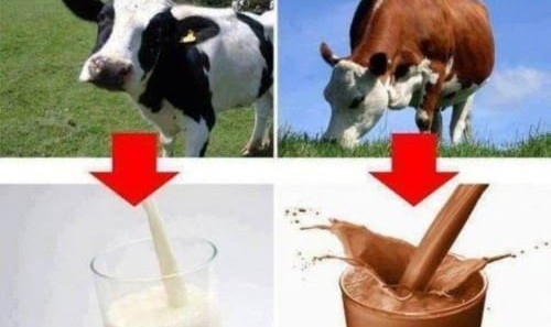 شانزده میلیون آمریکایی: شیرکاکائو از گاو قهوهای دوشیده می شود!