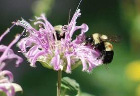 محو تدریجی زنبور عسل پشمالو در مناطق مرکزی امریکا