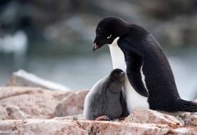 مرگ فاجعهبار تمام جوجه پنگوئنها در جنوبگان به واسطه افزایش بی سابقه حجم یخ