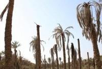 مرگ نخلهای خوزستان+عکس