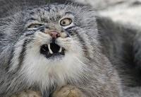 گربه خجالتی ایران در معرض تهدید