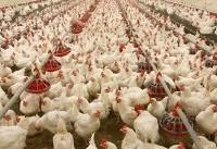 مرغهای بیمشتری روی دست صاحبانشان ماند