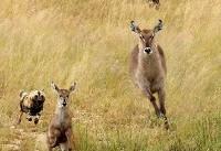 (تصاویر) نجات باورنکردنی بزهای کوهی از چنگ شکارچیان