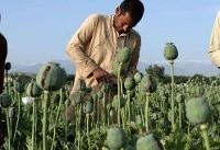 افزایش ۴۰ درصدی کشت خشخاش در افغانستان