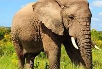 تصمیم جنجالی دولت ترامپ برای واردات مجدد لاشه فیل به آمریکا