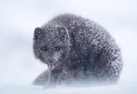 روباه آبی قطبی (عکس)
