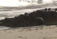 Crocodile Catches Rays as It Enjoys Having Beach All to Itself