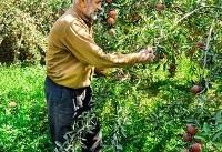 اجرای طرح توسعه باغات دیم در مناطق بالای ۳۰۰ میلیمتر بارندگی کشور