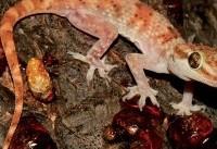 (تصویر) کشف گونهای جدید از مارمولک در سلیمانیه