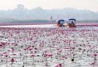 دریاچه صورتی گردشگران را به سوی خود میخواند+تصاویر