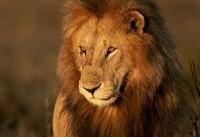 تصاویری زیبا از طبیعت شیرهای کنیا