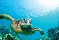 تلف شدن سالانه صدها لاکپشت بر اثر زبالههای انسانی