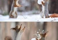 برف بازی سنجابها (عکس)