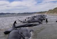خودکشی گروهی نهنگ ها+تصاویر