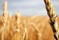وزارت جهاد کشاورزی به پخش گزارش بخش خبری ۲۰:۳۰ درباره خرید گندم واکنش نشان داد
