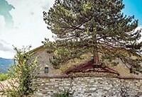 درخت ۱۰۰ساله روی کلیسا