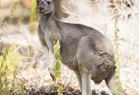 چالش بر سر افزایش جمعیت کانگوروها در استرالیا