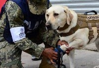 Mexico City earthquake: Rescue Dog who has saved 52 lives launches into searching rubble for ...