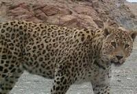 وضعیت اسفبار پلنگ ایرانی در پنجمین استان کوچک کشور