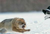 روباه و زاغ درگیر شدند + عکس