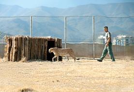 دوربین مداربسته نگهداری یوز آسیایی در پارک طبیعت پردیسان هم به سرقت رفت!