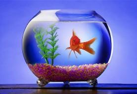راست و دروغ ابتلا به کرونا با خرید ماهی قرمز شب عید