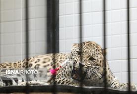 پلنگهای باغ وحش تهران جفتگیری کردند: ماده پلنگ ایرانی باردار شد