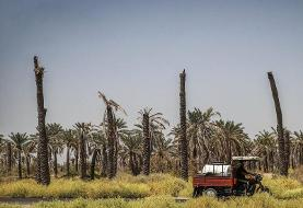Thirsty and Beheaded! In Pictures: Drought-Stricken Shadegan Date Palm Groves