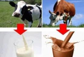 ۱۶.۴ میلیون آمریکایی فکر میکنند شیر کاکائو از گاو قهوه ای گرفته میشود!