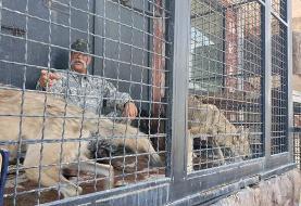 فیلم: مسئول «دهکده طبیعت» قزوین همزمان با بازدید معاون رئیس جمهور طعمه شیر نر شد!