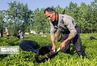 به روایت تصویر: برداشت چای لاهیجان و آکواریوم زیبای انزلی