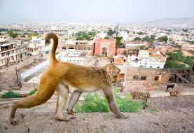 میمونها در هند نمونه خون بیماران کووید۱۹ را دزدیدند! ادامه رشد سریع کرونا در روسیه، خاورمیانه و آمریکای جنوبی