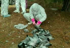 مرگ ناگهانی بیش از ۵۰۰۰ کبوتر در اسلامآباد