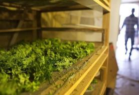 آلمان به دنبال تولید قانونی گیاه مولد ماریجوآنا