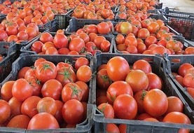 صادرات گوجه فرنگی ممنوع شد: کیلویی ۷۵۰۰ تومان