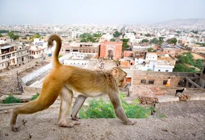 سیاره میمونها؟ حمله میمونها با آجر، جان پیرمرد هندی را گرفت!