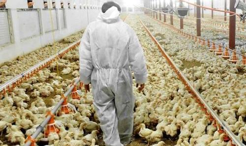 مرغ های کشور هم تریاکی شدند! ماجرای مرغهای معتاد به تریاک چیست؟