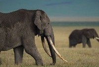 Trump administration says hunters can bring African elephant trophies into the U.S.