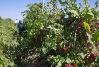 وجود بیش از ۲۲ هزار هکتار باغ انگور در تاکستان/ محصولات به بازارهای جهانی معرفی نشدهاند