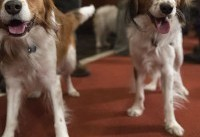 These 2 Dog Breeds Were Just Added to the American Kennel Club Roster