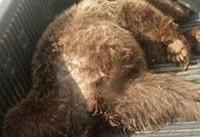 عامل شکار خرس قهوهای در شاهرود به تحمل دو سال حبس محکوم شد
