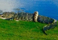 Alligator and python captured tangling on golf course