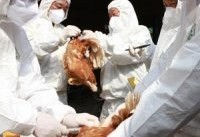 شیوع آنفولانزای مرغی ۲۷۰۰ کارگر را بیکار کرد
