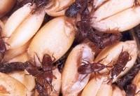 دفع آفات انباری حبوبات با «امواج مایکروویو»