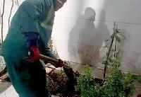 توزیع و کاشت نهال رایگان در باغچه منازل شهروندان منطقه ۱۹