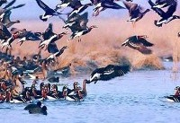 تالابهای گیلان میزبان افزون بر ۲۰۰ هزار پرنده مهاجر