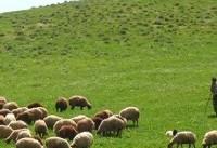 سرگردانی عشایر آذربایجان غربی برای فروش دامهایشان