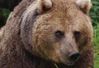 مشاهده یک قلاده خرس قهوهای به همراه دو توله در ارسنجان فارس