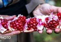 آنچه باغات انار درجه یک کردستان را به نابودی کشانده است